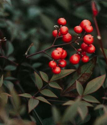 photo of berries (saturated color) against less saturated leaf colors of a bush