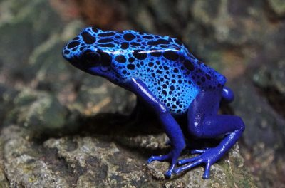 poisonous dart frog